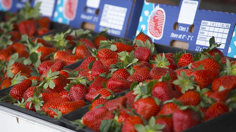 Russell Farms Strawberries